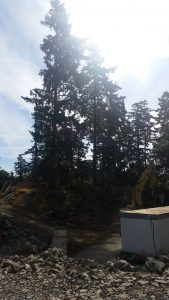 pictures of fir trees to be removed