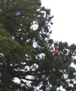 climbing big sequoia tree