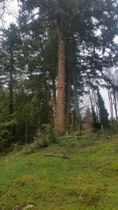 pruning really big fir