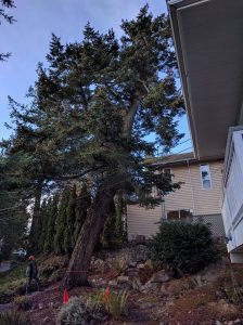 fir tree removed over house before and after